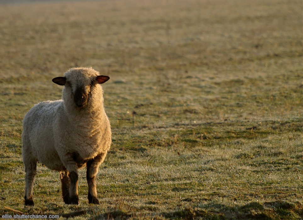 photoblog image Efford Sheep