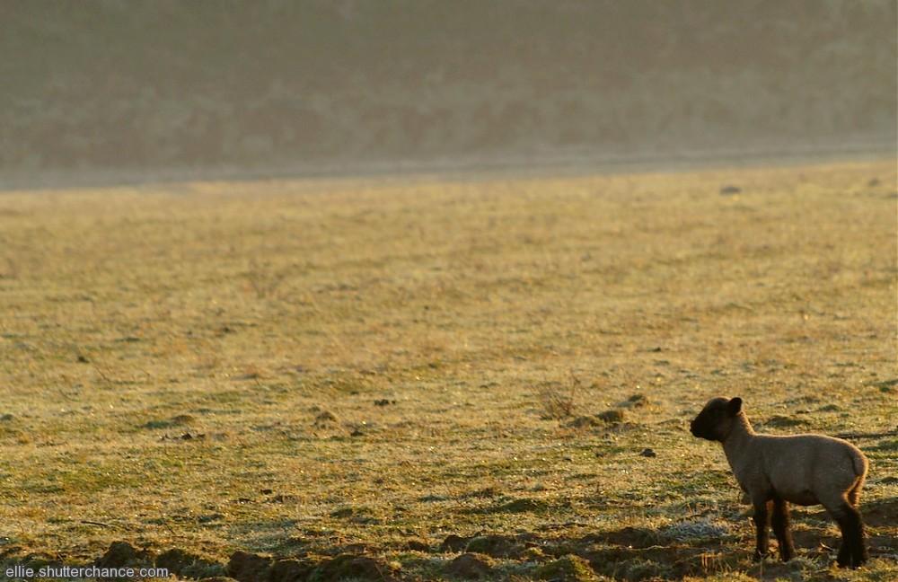 photoblog image Efford Sheep