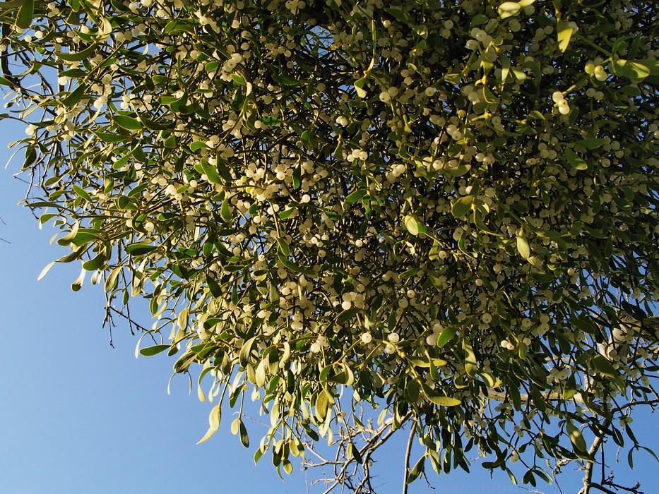 photoblog image Mistletoe #5