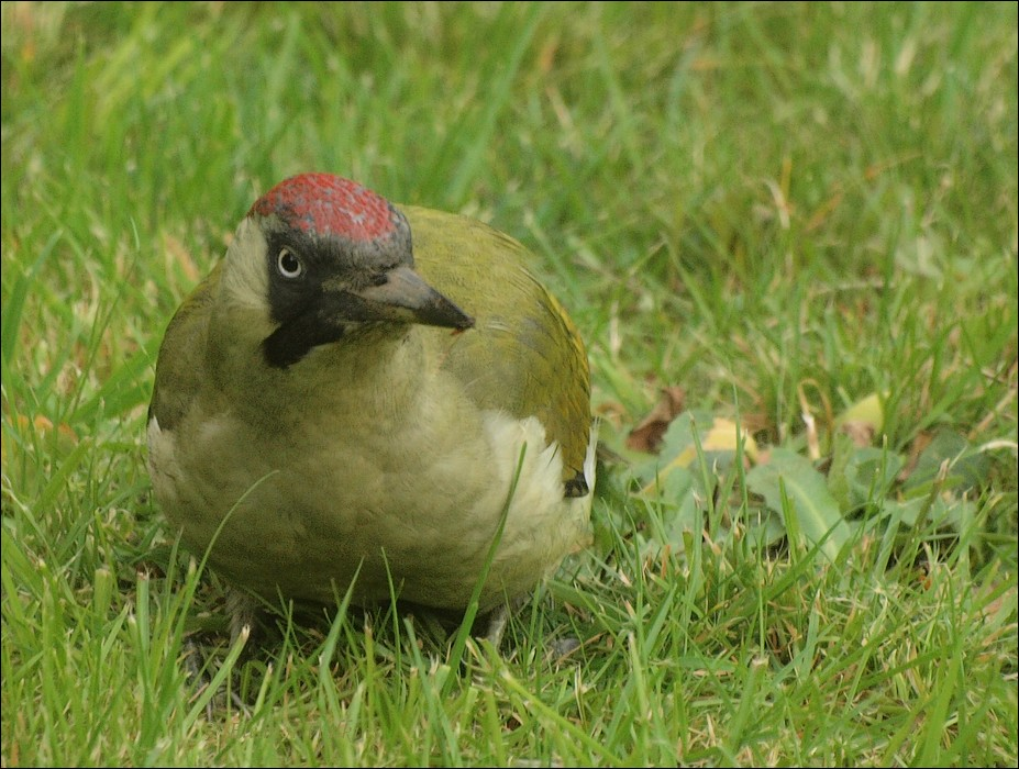 photoblog image Green Woodpecker