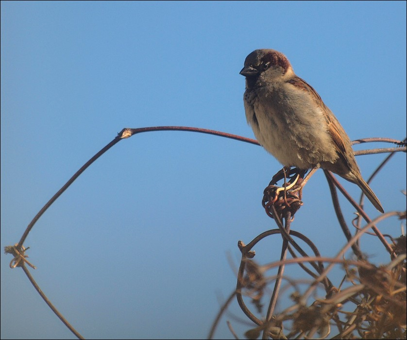 photoblog image House sparrow