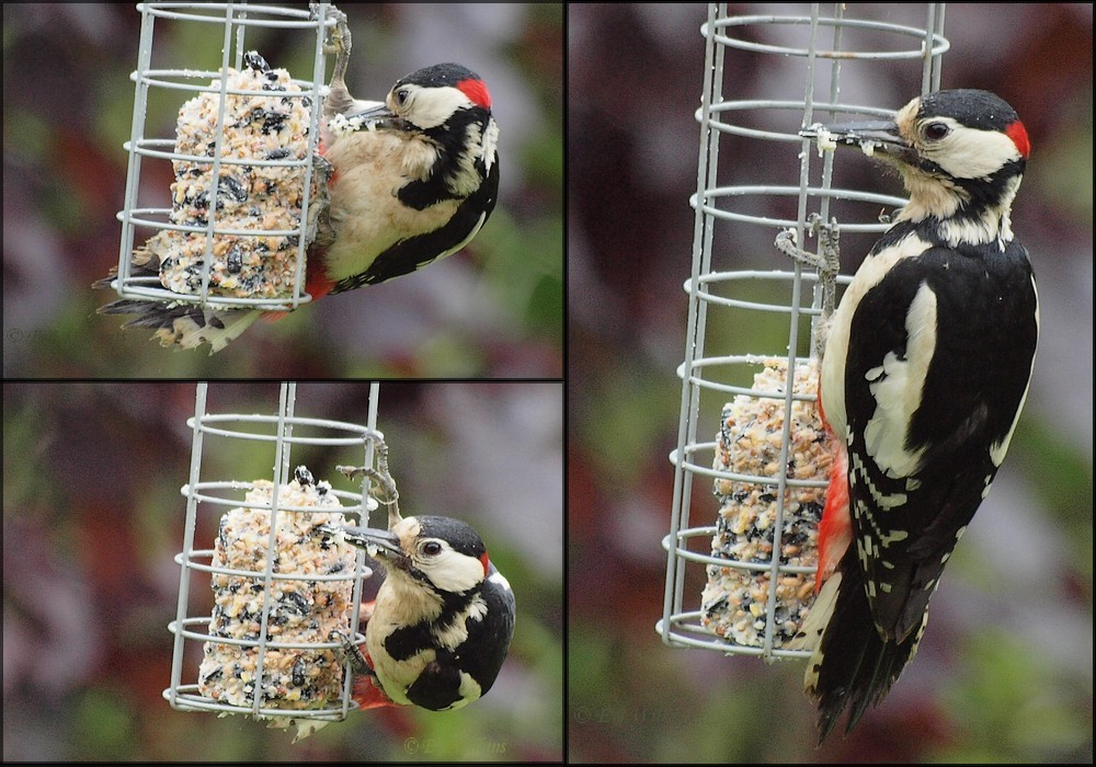 photoblog image Great Spotted Woodpecker