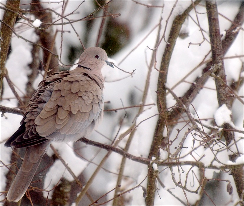 photoblog image Cold dove