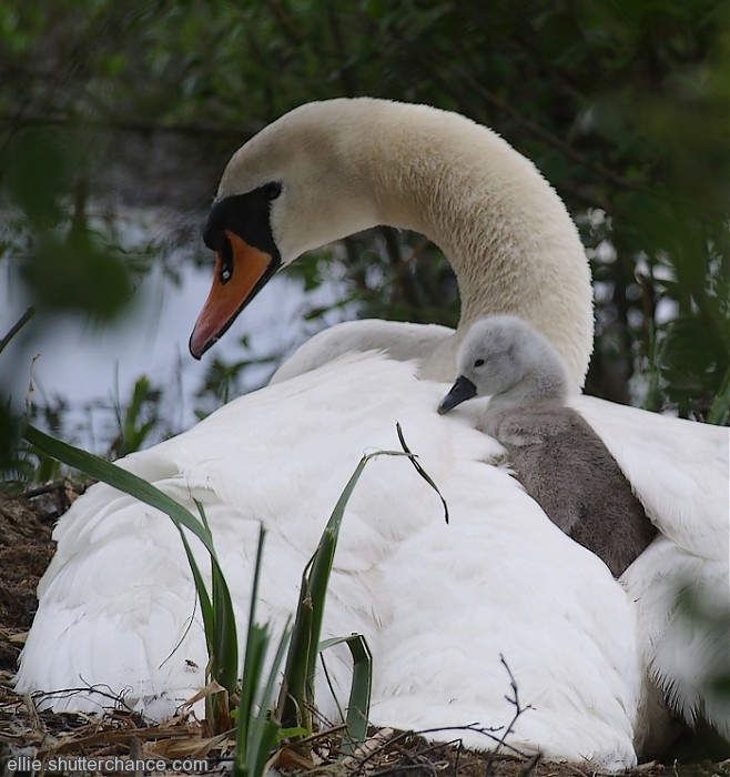 photoblog image Swan and cygnets on nest (hatched 5th-7th May)
