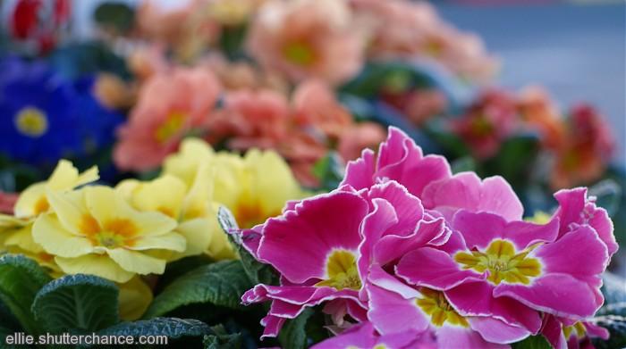 photoblog image A sea of Primulas